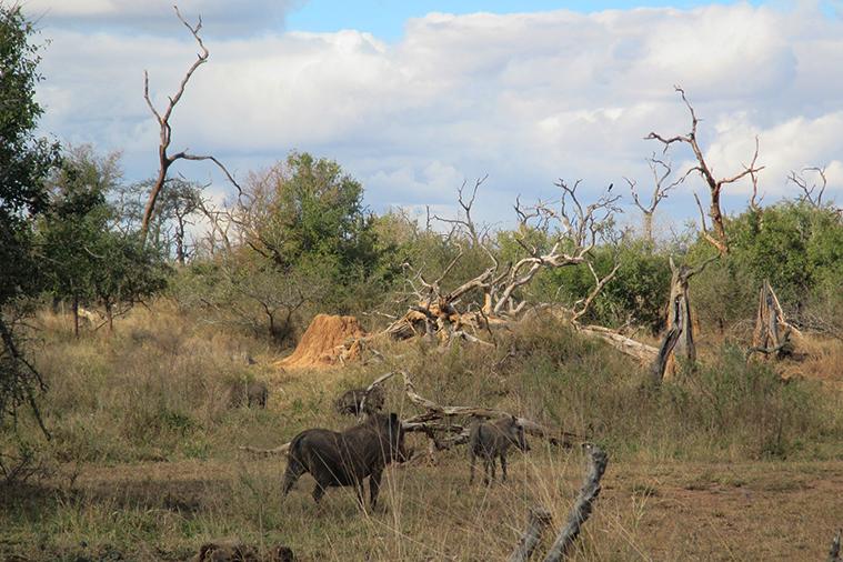 Hlane National Park Tour rhino walk