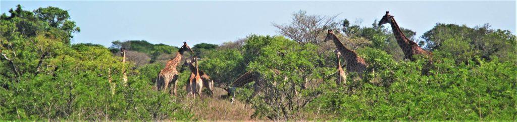 Maputo Special Reserve Girafes