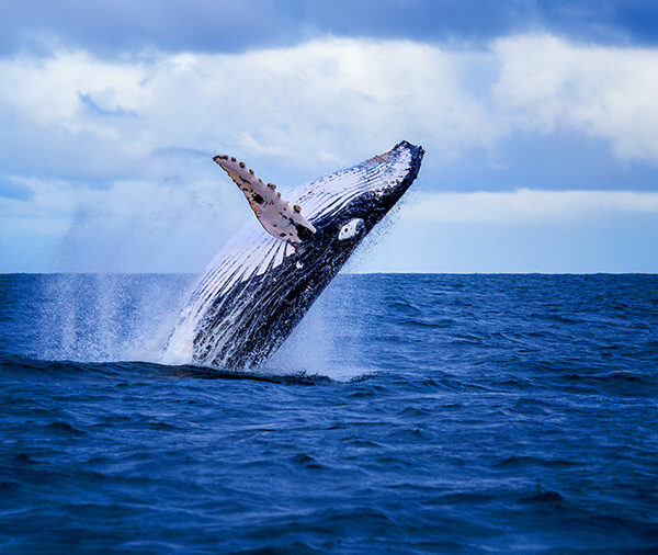 Watching Humpback Whales in Mozambique